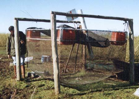 Mundo tilapia 2011 jaulas flotantes for Crianza de camarones
